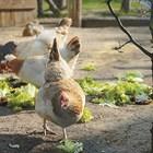 За да елиминирате развитието на рахит всеки ден давайте на домашните птици рибено масло в посочените дози