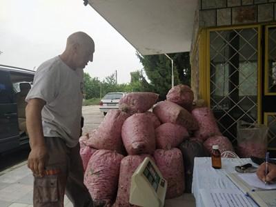 Розопроизводители предават чувалите си на един от пунктовете в Брацигово СНИМКА: Анелия Перчева