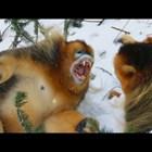 Битката на снежните маймуни