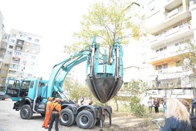 Преместиха дърво заради паркинг във Варна (Снимки)