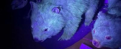 Вомбатите имат флуоресцентна козина СНИМКА: Музей на Западна Австралия