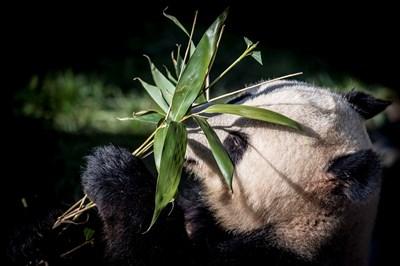 Посетителите на зоопарка в Копенхаген ще могат да се радват на пандите от днес.