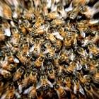 Много добре и точно Трябва да се преценят силата и здравословното състояние на пчелните семейства и майката