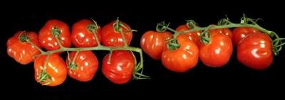 Унищоват 5 т домати заради остатъчни вещества от пестициди. Снимка: Пиксабей