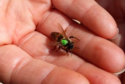 Идва ерата на комара, пчелата изчезва
