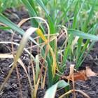 Пшеницата в Добруджа е нападната от житни мухи