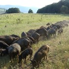 Стадо източнобалкански свине СНИМКА: Уикипедия/dr. Tsviatko Alexandrov