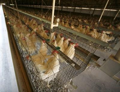 Все още около 300 млн. животни в ЕС се отглеждат в клетки, независимо че през последните години натискът тази практика да бъде прекратена става все по-голям.