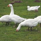 Фуражни смески за птиците