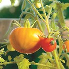 5 растения компаньони за доматите