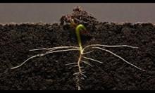 25 дни от живота на едно бобено зърно