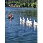 """Служители на общинската аварийна дирекция теглят с лодка в Панчаревското езеро макети на лебеди по време на репетицията на """"Лебедово езеро""""."""