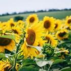 Кои са шестте различни ползи при третиране на слънчоглед с Амалгерол Eсенс? (част II)