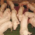 Разработена е технология, която да анализира положението на опашката на прасетата, за да се подпомогне предотвратяването на прояви на канибализъм. Защото е доказано, че прасетата свиват опашки между краката си, когато са жертва на канибализъм.