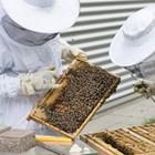 Веднага трябва да се дадат майки на осиротелите семейства, както и на семействата с майки търтовки или с пчели търтовки.