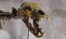 Пещерната мечка – добродушният гигант, който властва в нашите гори преди 80 хил. години