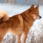 Освен универсално ловджийско куче карелската лайка е чудесен домашен любимец