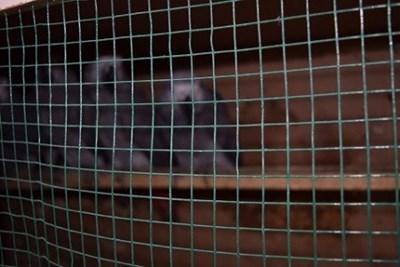 Нелегално превозвани папагали вид сиво жако СНИМКА: Авторът