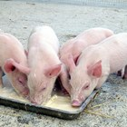 Отбиваме безпроблемно прасетата: фактори за успех