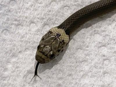 Тази снимка е предоставена от Службата за информация, спасяване и образование за дивата природа (WIRES): змията с бледа глава е снимана в Сидни, четвъртък, 15 април 2021 г. Това е отровната змия, която според властите е направила 870-километрова (540-милна) ) пътуване до Сидни от опаковъчен завод Toowoomba, увит в пластмаса с марули.