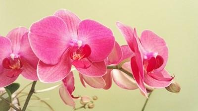 Градина: Домашни рецепти срещу неприятелите на орхидеите