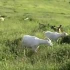 Два дни поред вечер две кози се подуват след паша