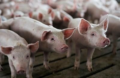 До днес кметове изготвят списъци със стопаните, умъртвили доброволно прасетата си