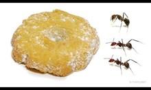 Мравки оглозгват коледна бисквита