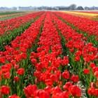 Нидерландия– страната на лалетата