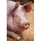 Как се отразява пазарната ситуация на френското свиневъдство?