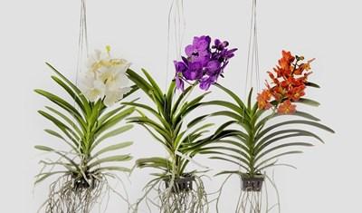 Градина: Как се отглежда орхидеята кралица Ванда