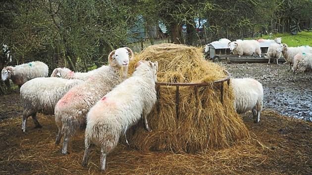 Горещото време и високата влажност допринасят за силното опаразитяване на овце и кози