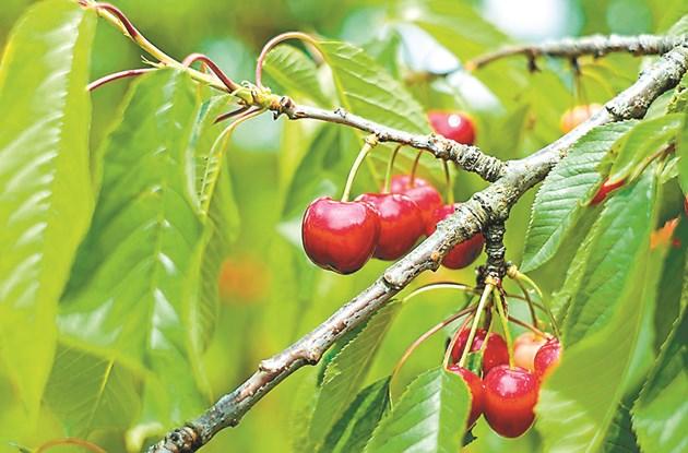 Важно! Лятната резитба се препоръчва при дръвчета, които дават плодове.