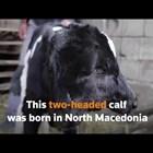 Двуглаво теленце се роди в Северна Македония