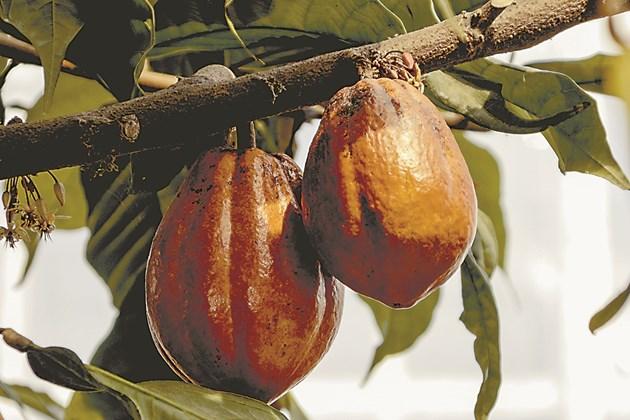 Загрижеността за околната среда и нарастващото търсене на какаови продукти тласкат лидерите на пазара към нови методи