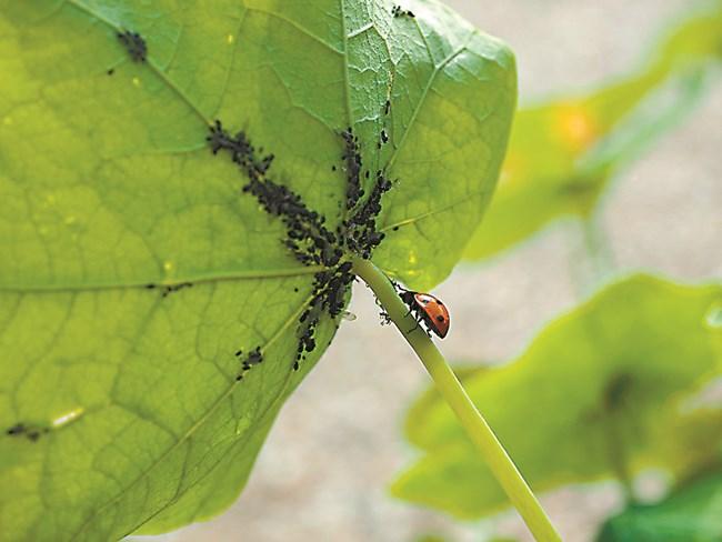 Листните въшки са преносители на опасни вирусни болести по зеленчуковите култури, които не се лекуват.
