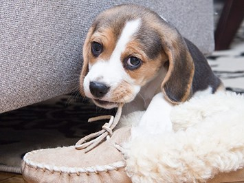 Гризе ли кученцето вещи значи си сменя зъбите