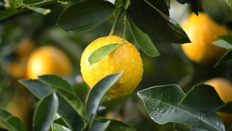 Как да се грижим за лимона