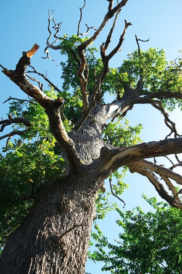 300-годишен дъб възкръсна