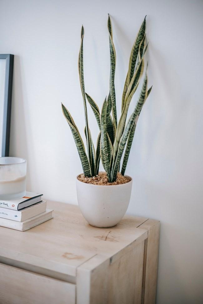 Змийско растение