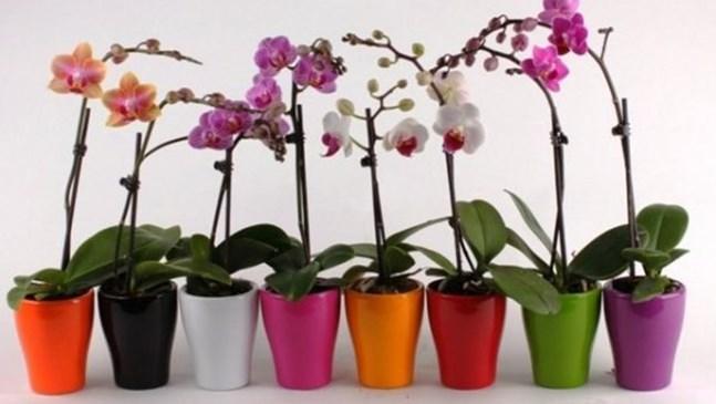 Домашни рецепти за борба с неприятелите по орхидеите