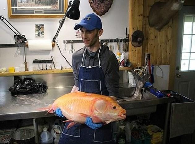 Хващат златна рибка на 100 години