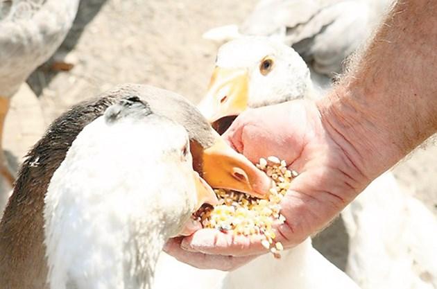 Даването на по-големи количества фураж (над 150 г дневно) е опасно. По-лакомите гъски ядят повече зърно, охранват се и може да пронесат преждевременно.