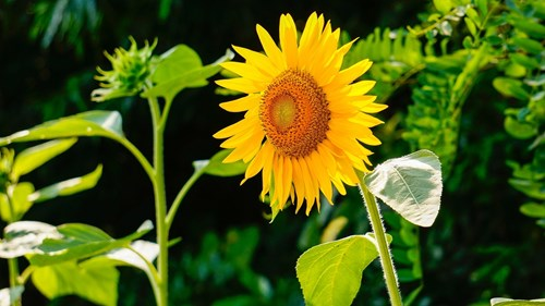 Идеални съседи - VI: Слънчоглед за опора
