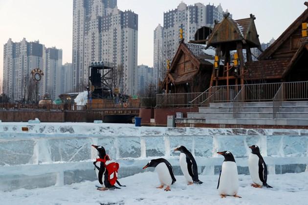Пингвини с раници живеят в леден град