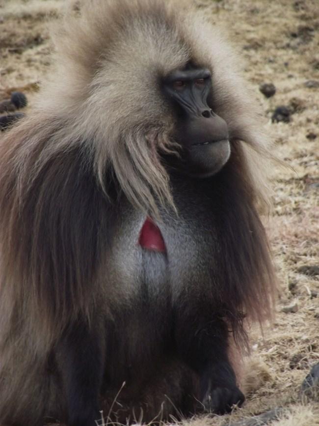 Виден представител на  маймуните гелада, които  живеят в планината Симиен.