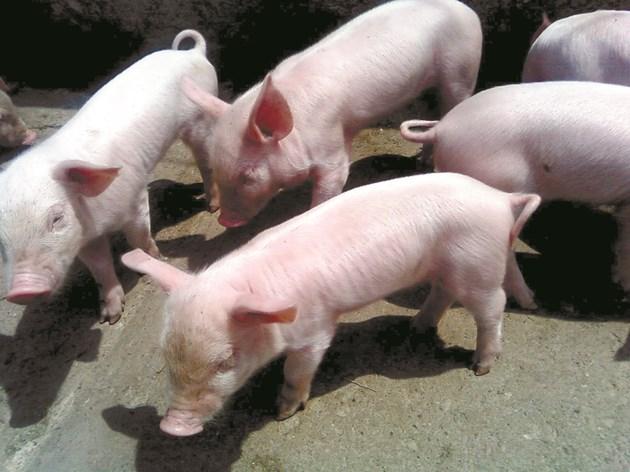 Прасетата са изключително чувствителни към микотоксини. Най-податливи са млади свине, свине-майки и нерези