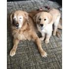 Кученце стана водач на сляп голдън ретривър (Видео)