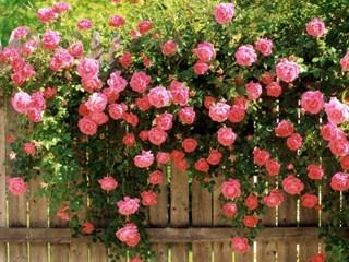 Розите разкриват пълният си блясък