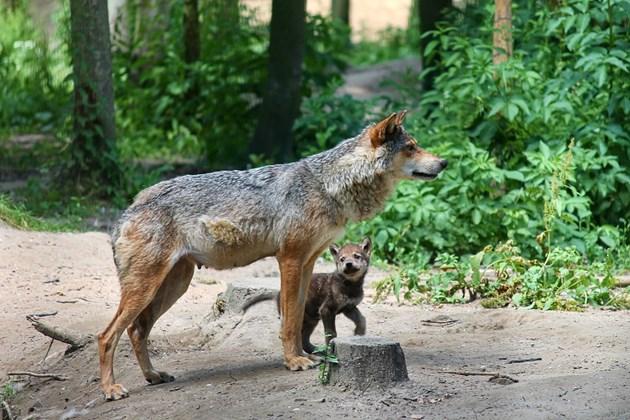 Майката обикаля с малките си